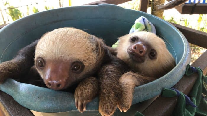 Sloths at Toucan Rescue Ranch