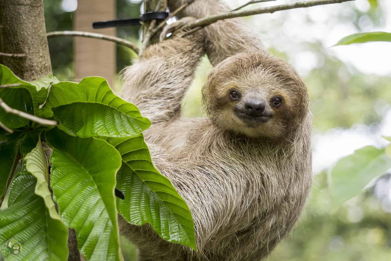 Mystique the sloth at Toucan Rescue Ranch