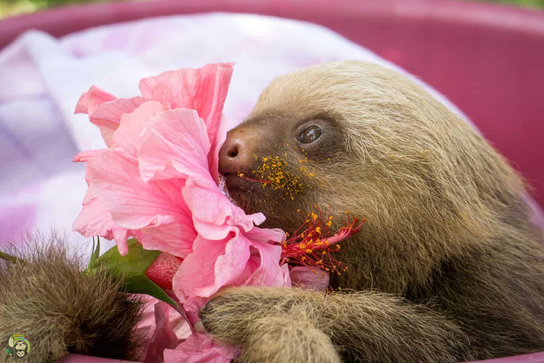 Brad Pitt the sloth in Costa Rica