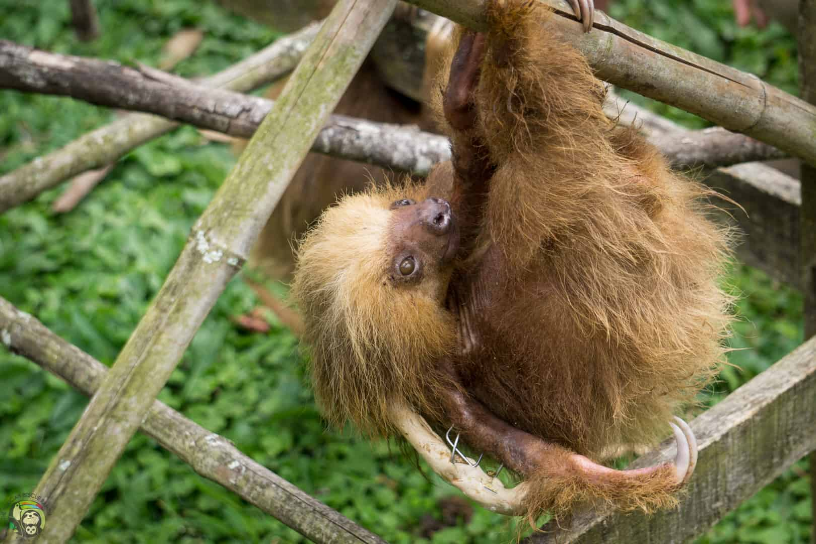Oatmeal, a sloth that survived electrocution