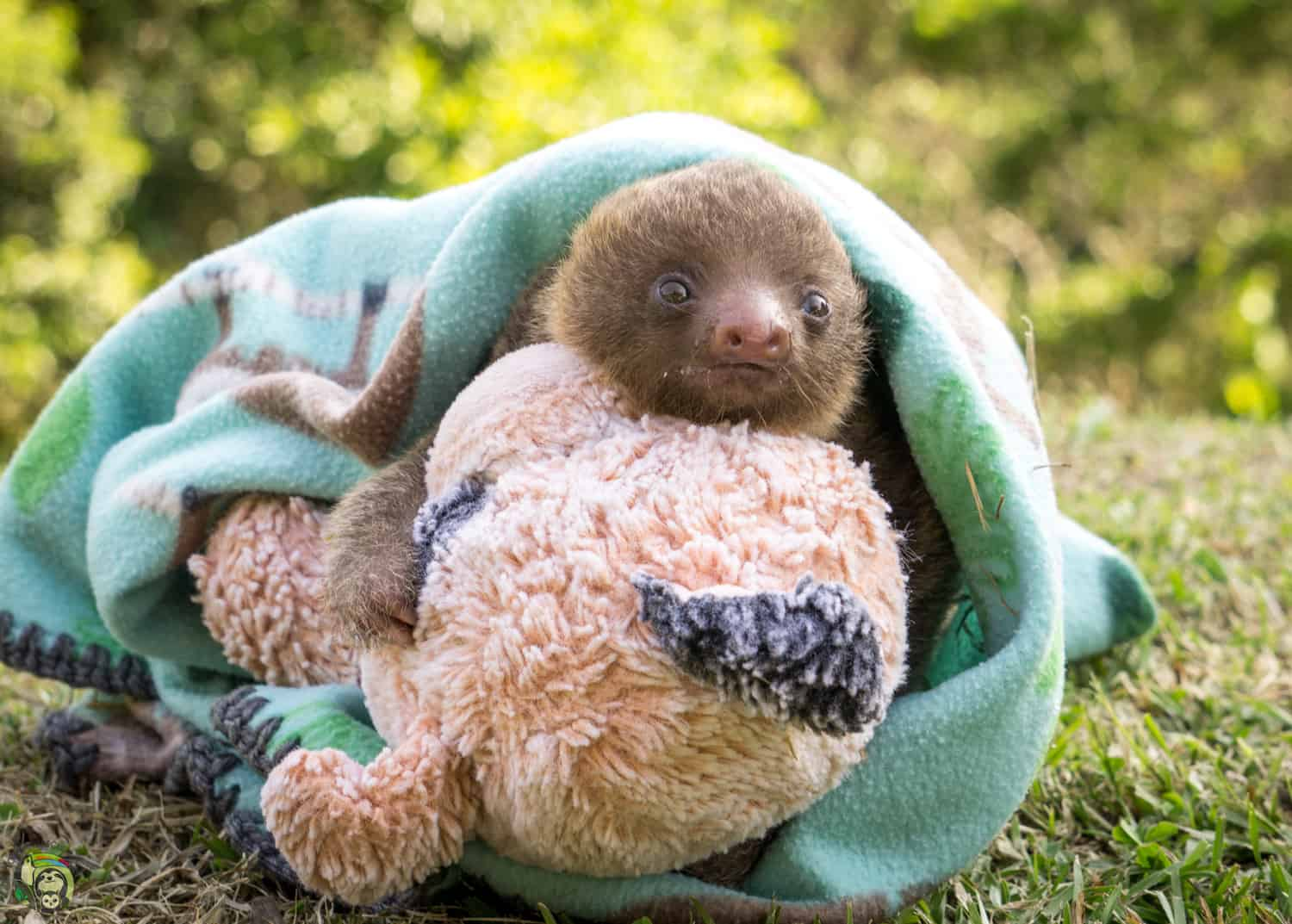 Bodhi, a two-toed sloth in Costa Rica, was rescued and brought to Toucan Rescue Ranch.