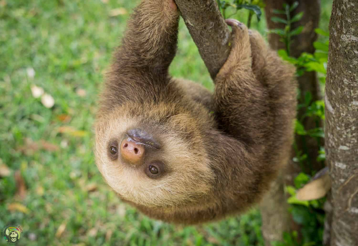 Brad Pitt the sloth at Toucan Rescue Ranch in Costa Rica