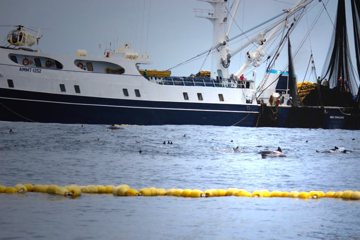 Dolphins trapped by tuna boat