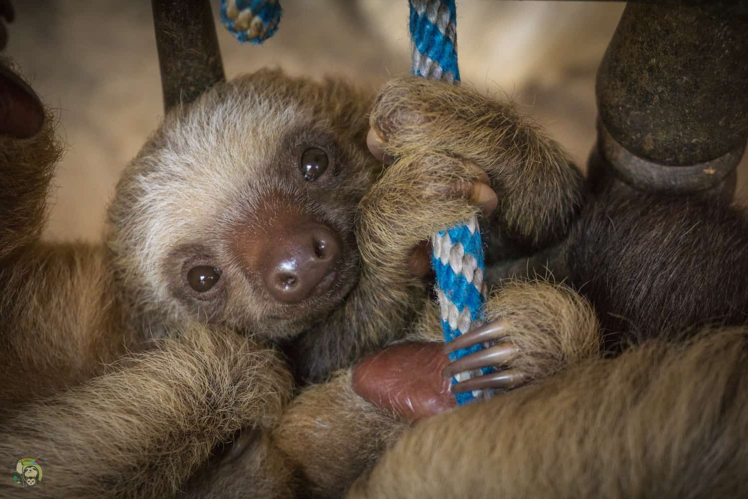 Arya, a two-fingered sloth, at Toucan Rescue Ranch Costa Rica.
