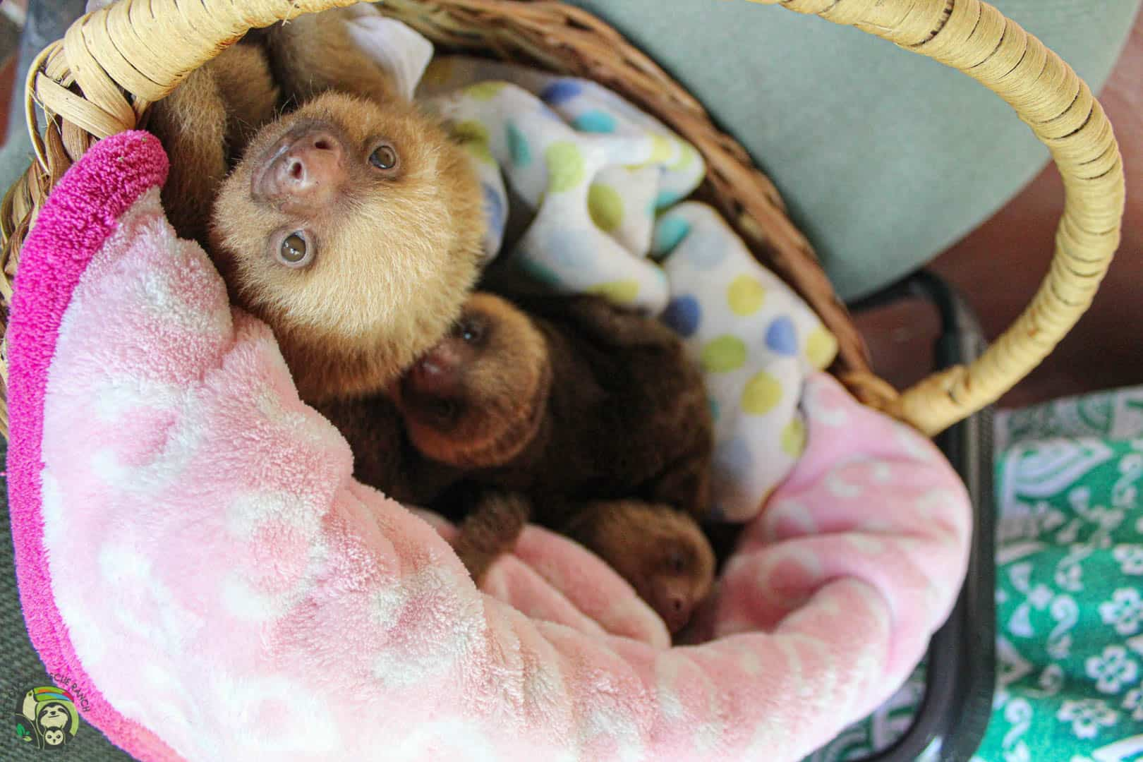 Young sloths at Toucan Rescue Ranch in Costa Rica.