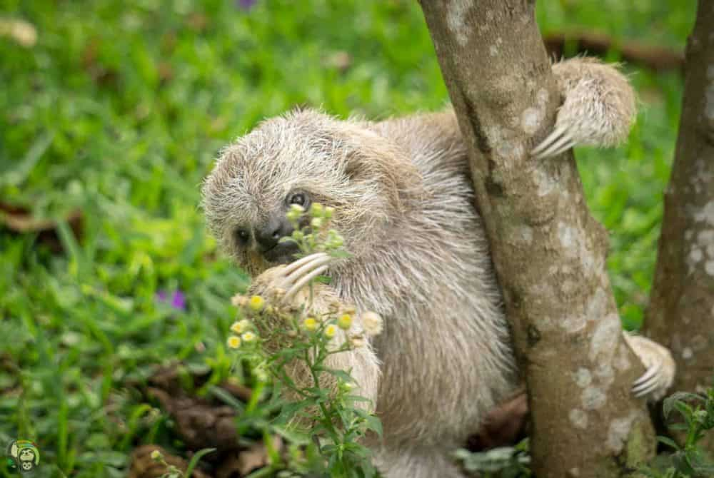 Eclipse, a three-fingered sloth at Toucan Rescue Ranch in Costa Rica.