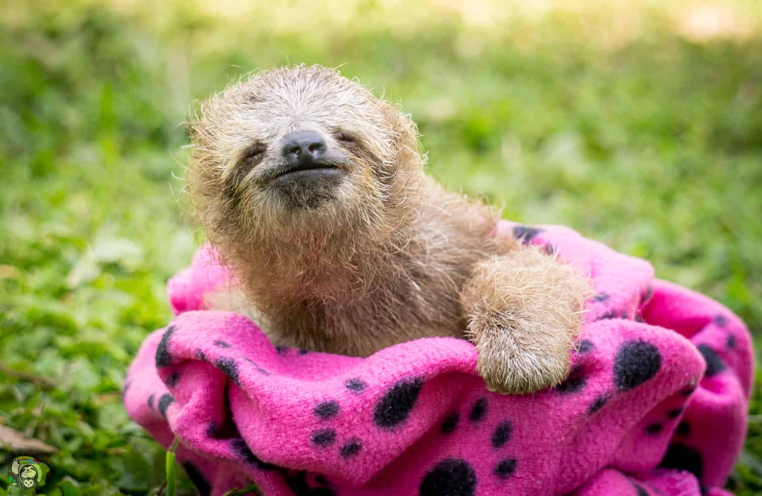Sol the sloth at Toucan Rescue Ranch in Costa Rica