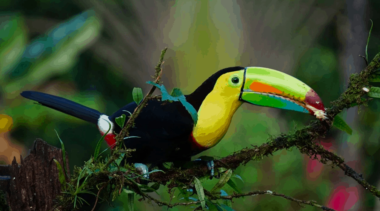 Toucans are among the many colorful birds you might see in Costa Rica.