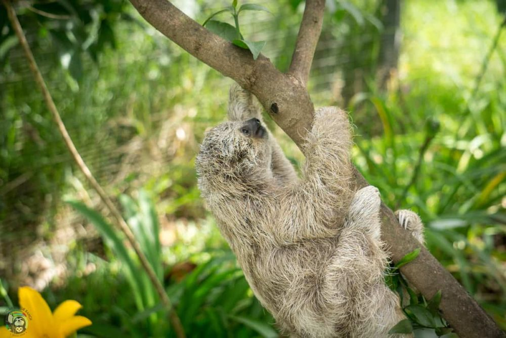 Eclipse, a three-fingered sloth, climbs up a tree branch.