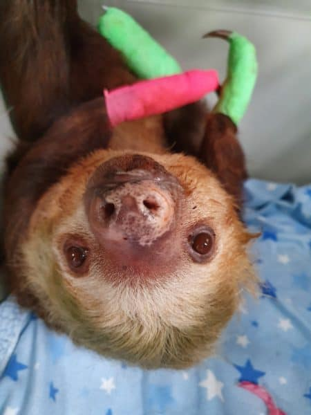 Neptuna the sloth recovering post-op at Toucan Rescue Ranch.