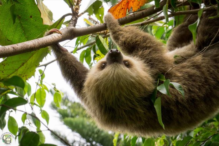 Osa the two-toed sloth Costa Rica