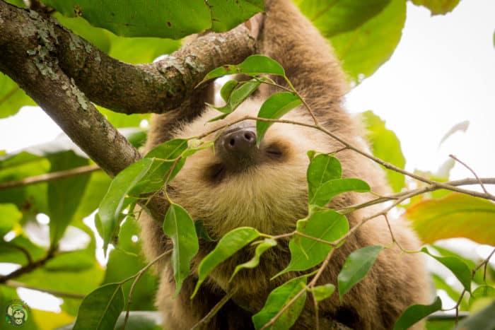 Slothy Sunday: Osa, a true 'Oso Perezoso'