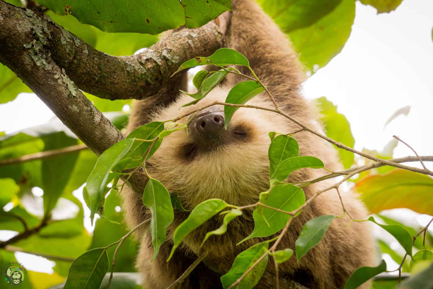 Osa the sloth at Toucan Rescue Ranch in Costa Rica.