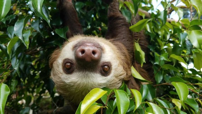 Pippin, a two-fingered sloth at Toucan Rescue Ranch in Costa Rica.