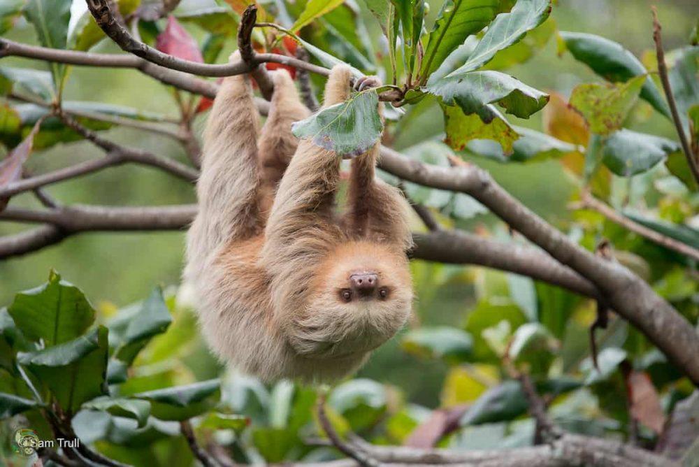 Santana the sloth hangs upside-down from a tree.