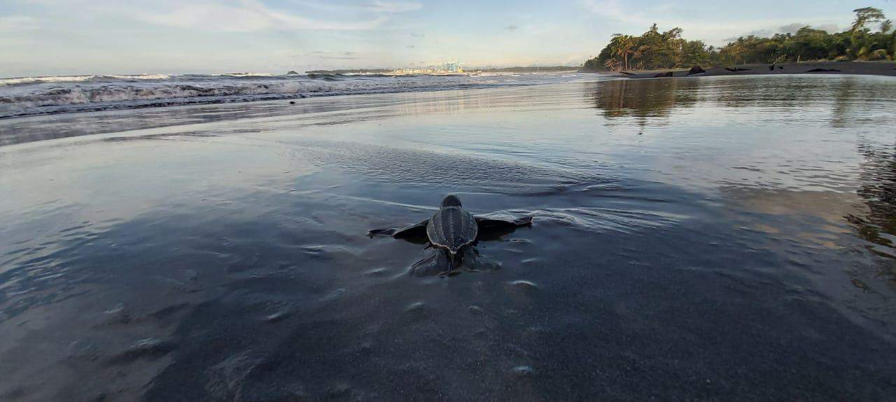 Baby leatherback sea turtle released in Moín Limón