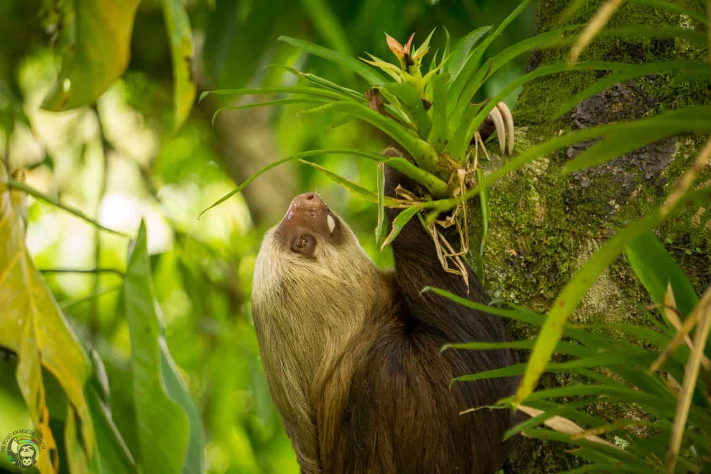 Lola the sloth in Costa Rica