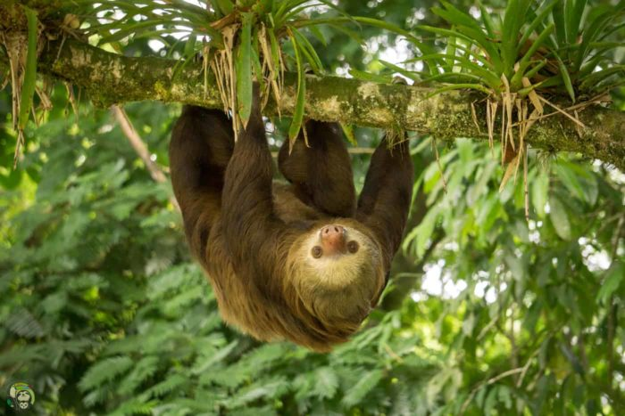 Slothy Sunday: Meet Lola, the sloth that traveled 65 km in a truck engine