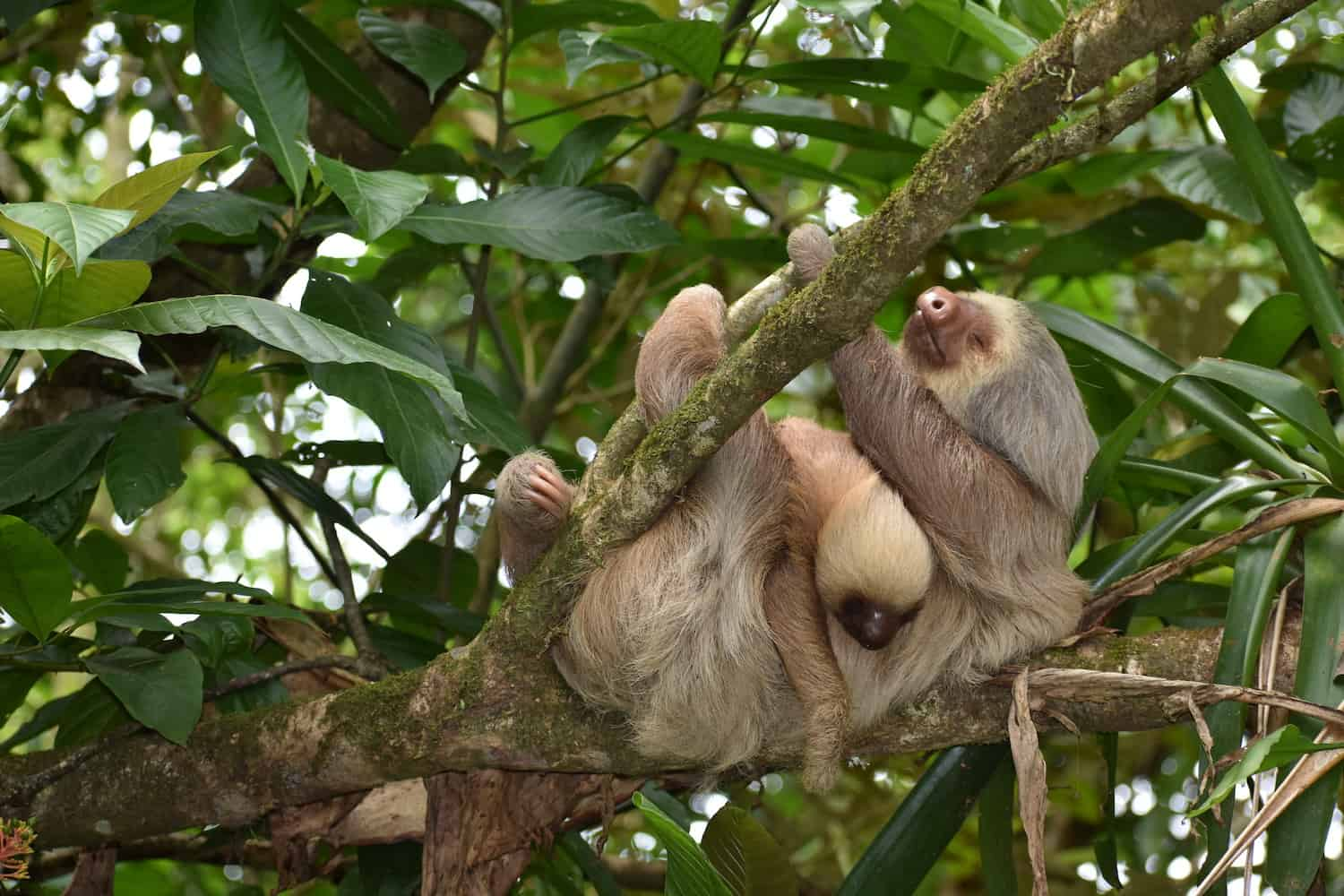 A sloth mother carries her baby.