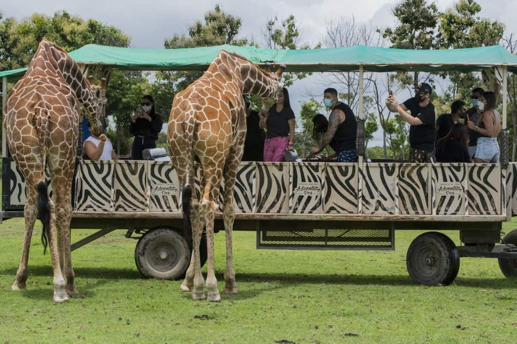 Giraffes are being fed by tourists during a tour at the La Ponderosa Adventure Park