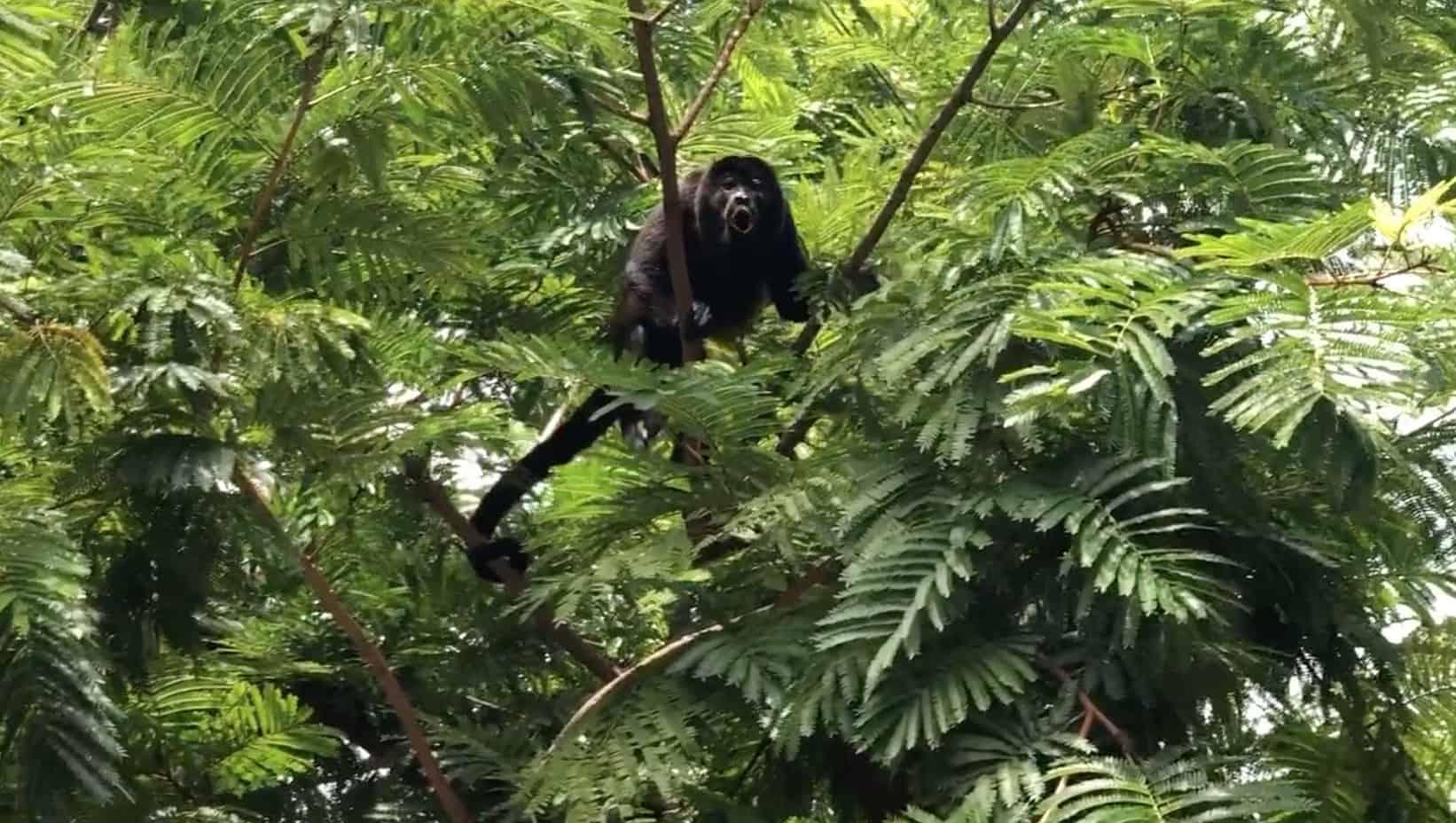 Howler monkey in Potrero, Guanacaste, Costa Rica.