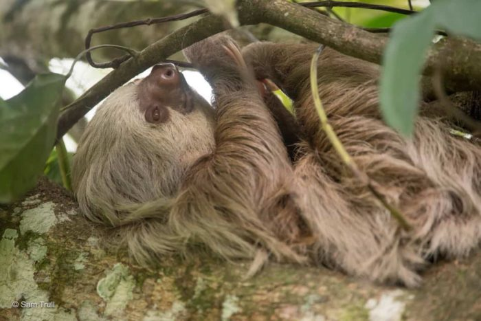 Ellie the sloth in the wild.
