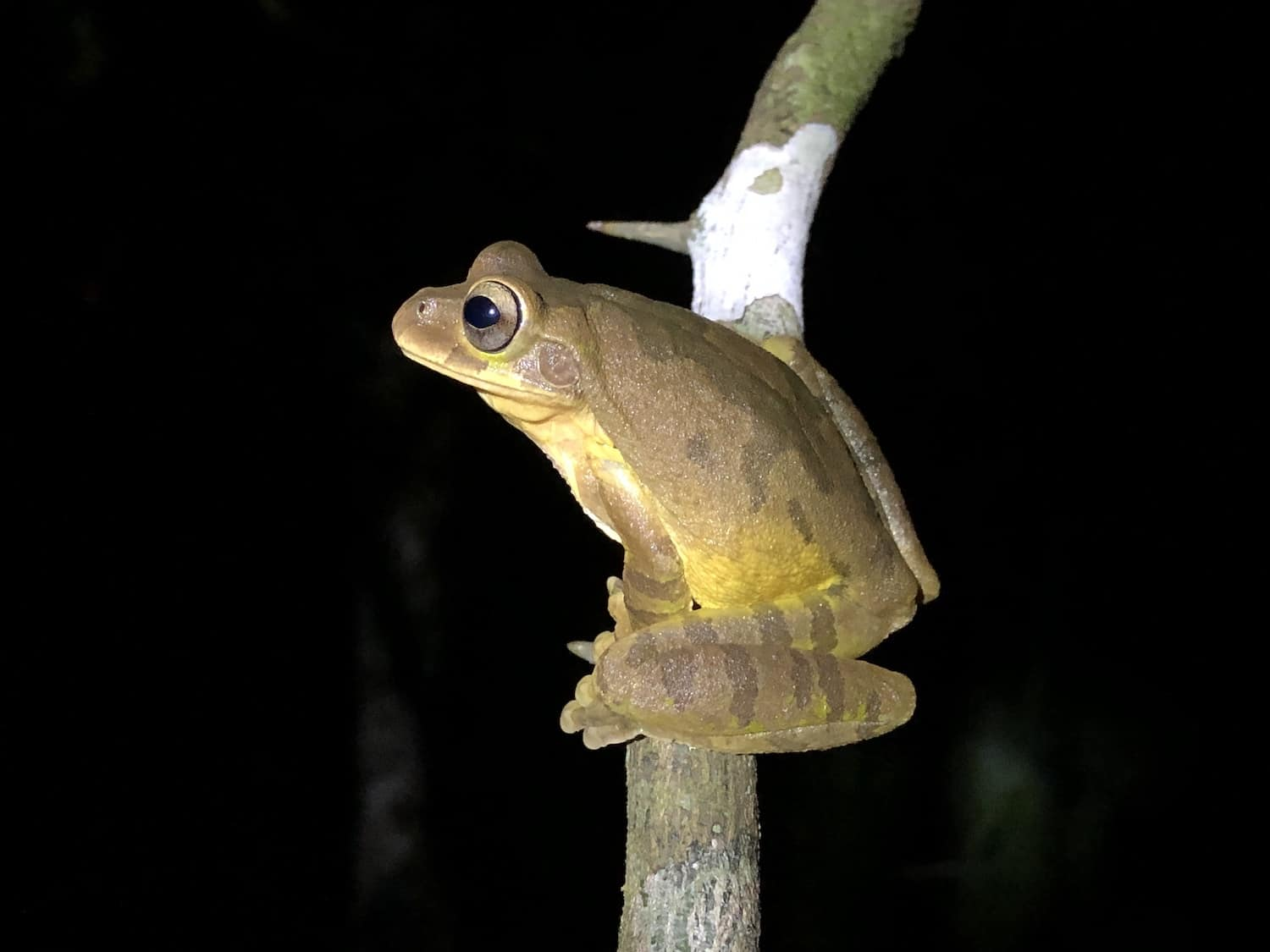 A frog on a branch in Bijagua de Upala, Costa Rica.