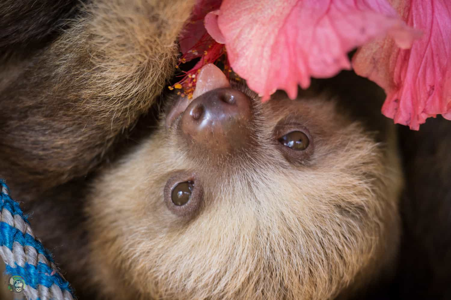 Rachel the sloth at Toucan Rescue Ranch in San Isidro de Heredia, Costa Rica.