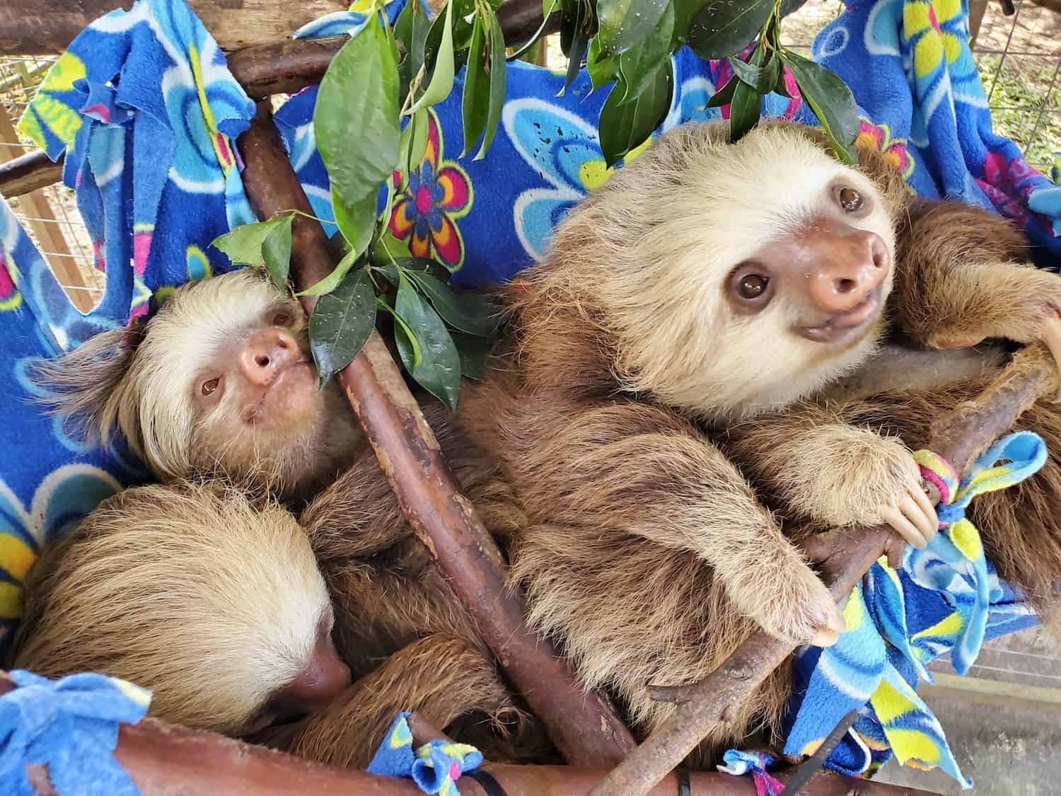 Young sloths in Costa Rica
