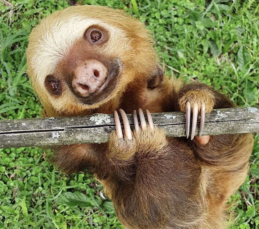 Aidee the sloth at Toucan Rescue Ranch in Costa Rica.