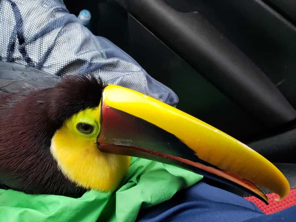 Esperanza, a toucan rescued by Costa Rican authorities during Hurricane Eta-related rainfall.