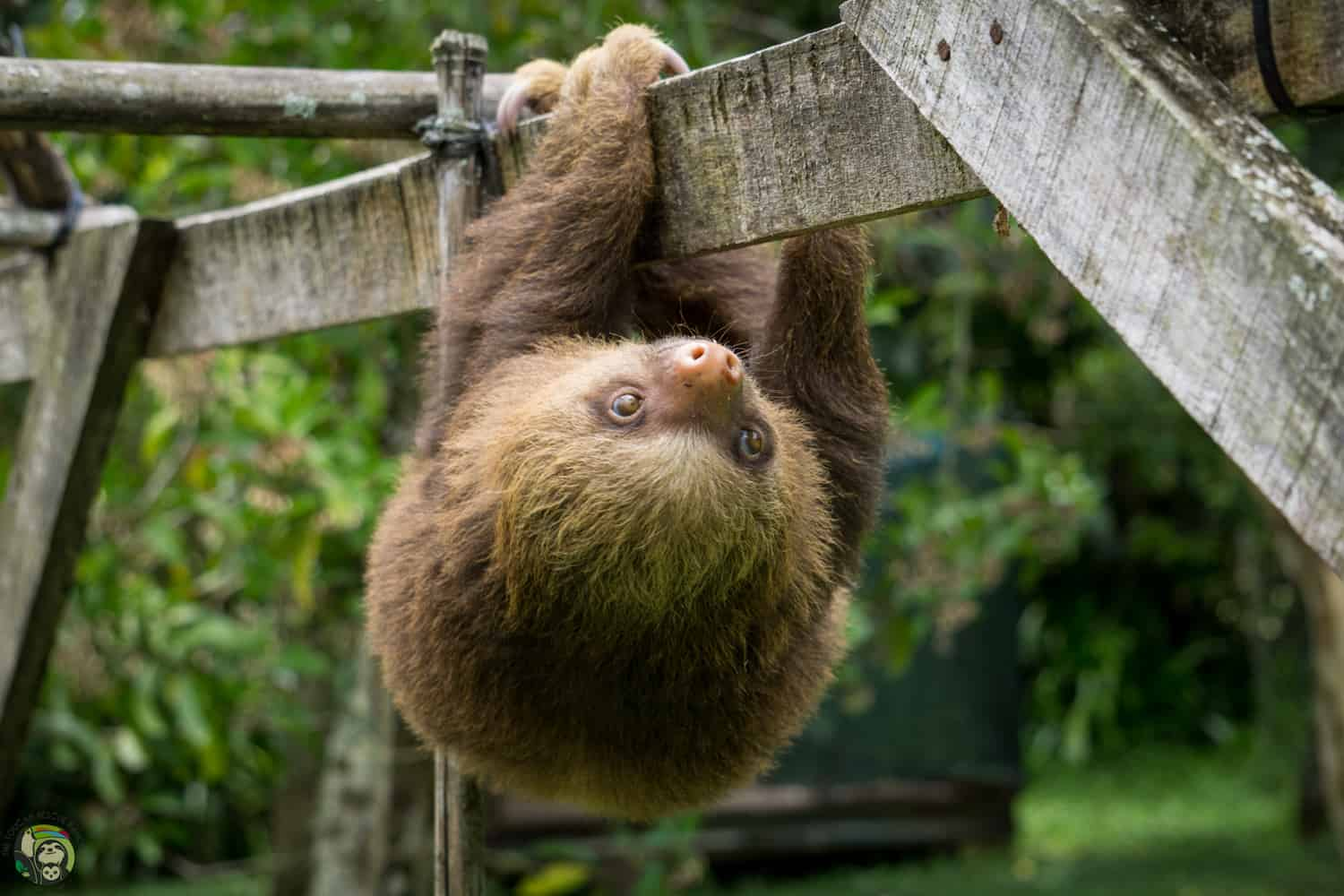 Ben Solo the sloth at Toucan Rescue Ranch in Costa Rica.