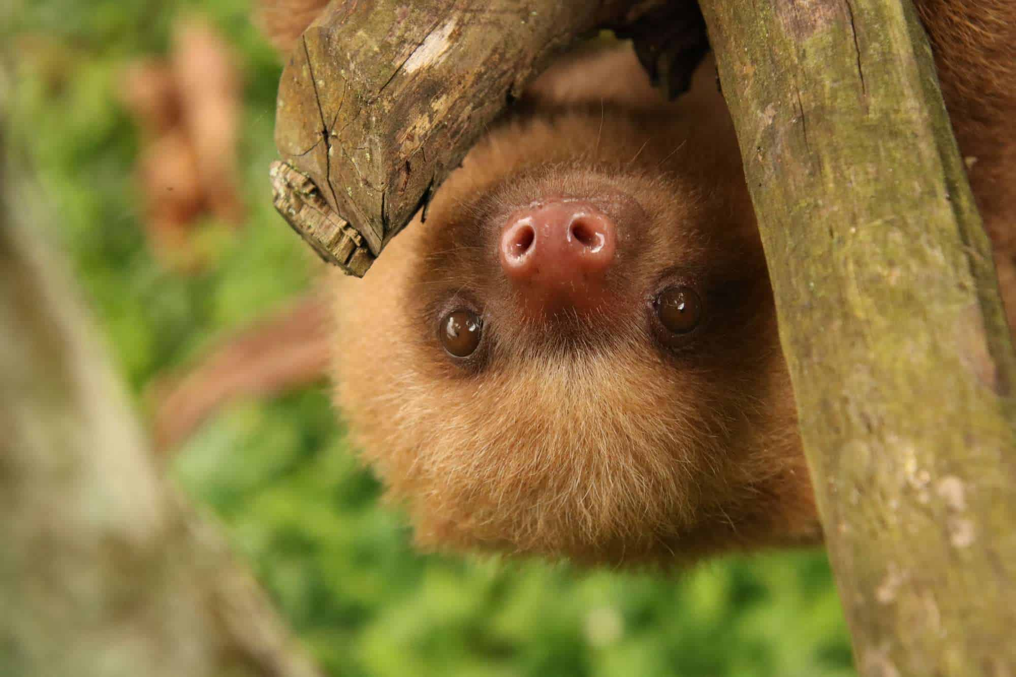Marilla, a baby sloth at Toucan Rescue Ranch. Isn't she cute?