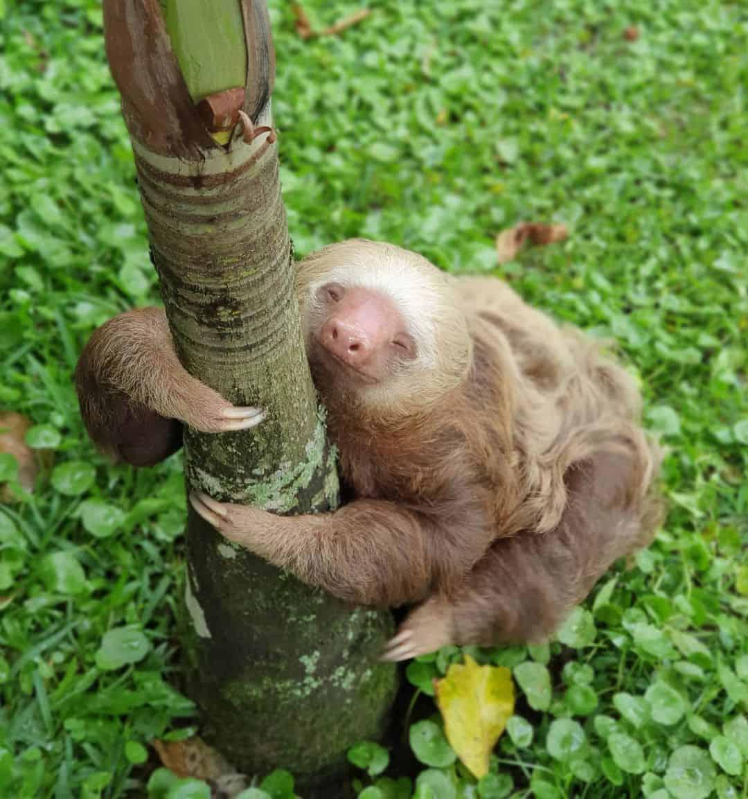 Grumpy the sloth, the 2019 Sloth Ironman Games Champion.