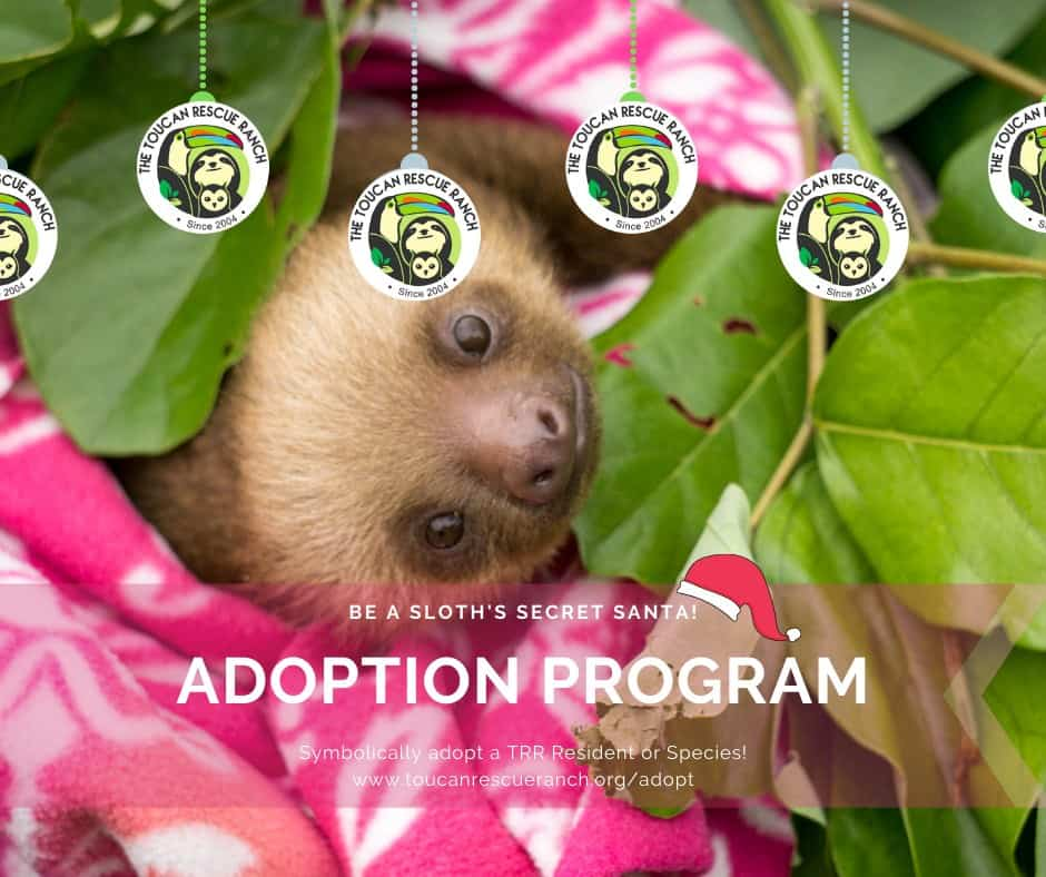 For big wildlife fans, sloth fans, and altogether environment fans, symbolically adopting a wild animal from the Toucan Rescue Ranch can be the perfect gift.