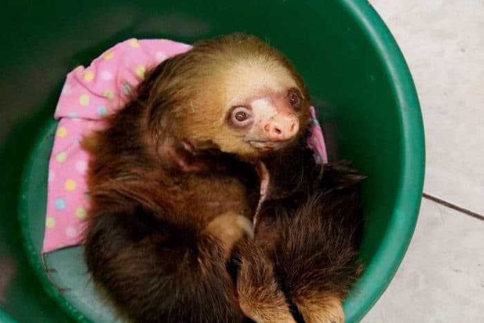 Lumi the sloth at Toucan Rescue Ranch.