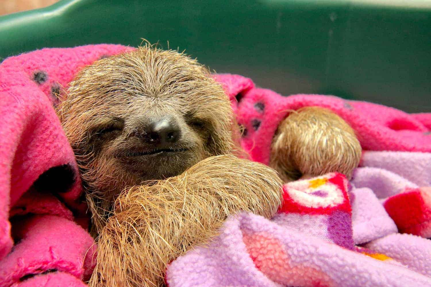 Muffin the sloth at Toucan Rescue Ranch in Costa Rica.
