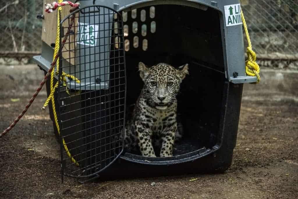 Nicaragua Jaguar