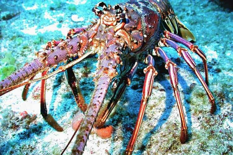 Caribbean spiny lobsters get their name from forward-pointing spines that cover their bodies to help protect them from predators.