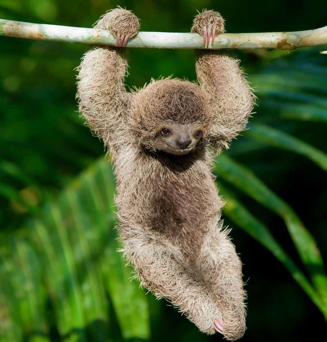 A baby sloth in the rainforest.