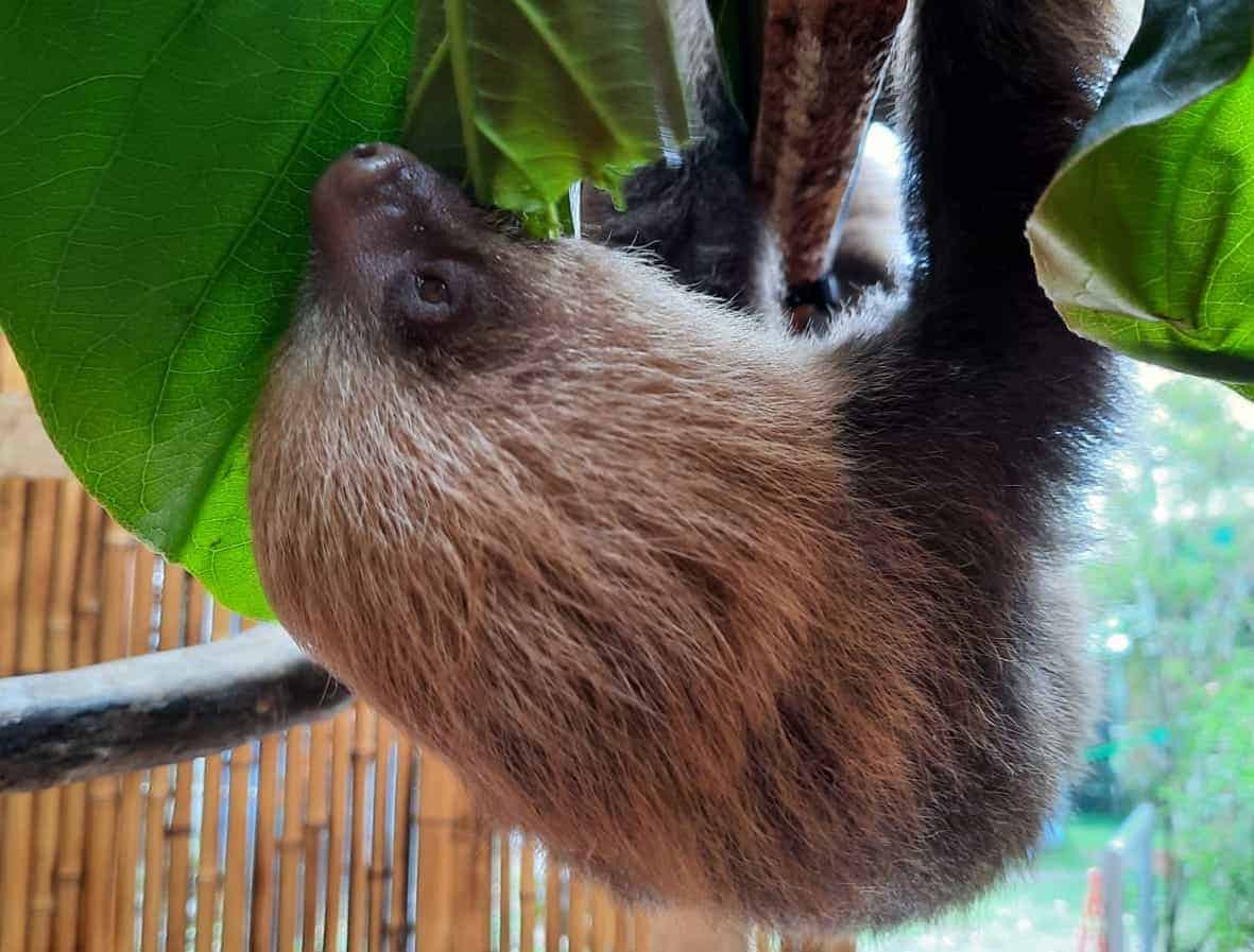 A sloth on a tour at Toucan Rescue Ranch in Costa Rica.