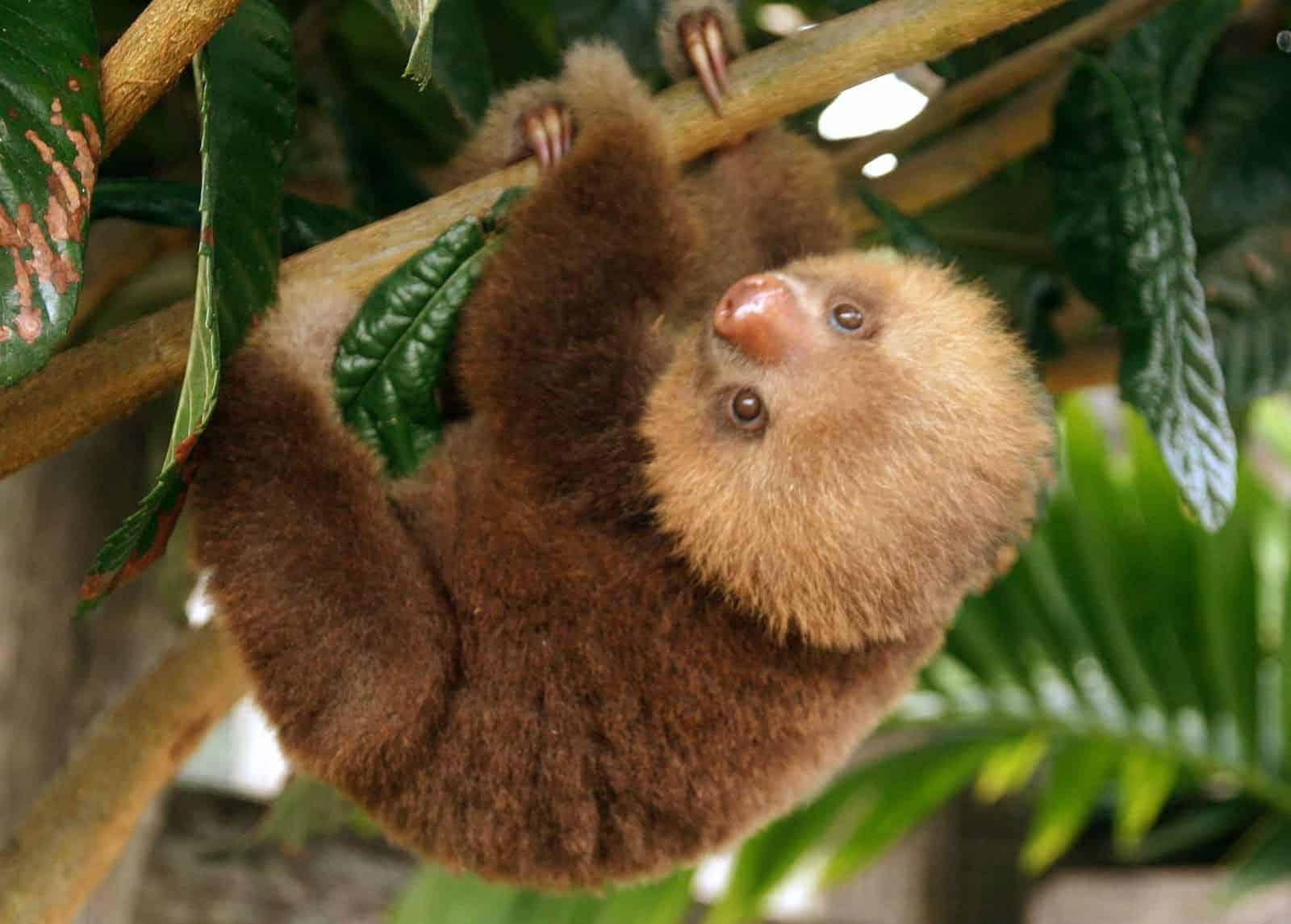 Millie the sloth, as pictured in 2007 at Toucan Rescue Ranch in Costa Rica.