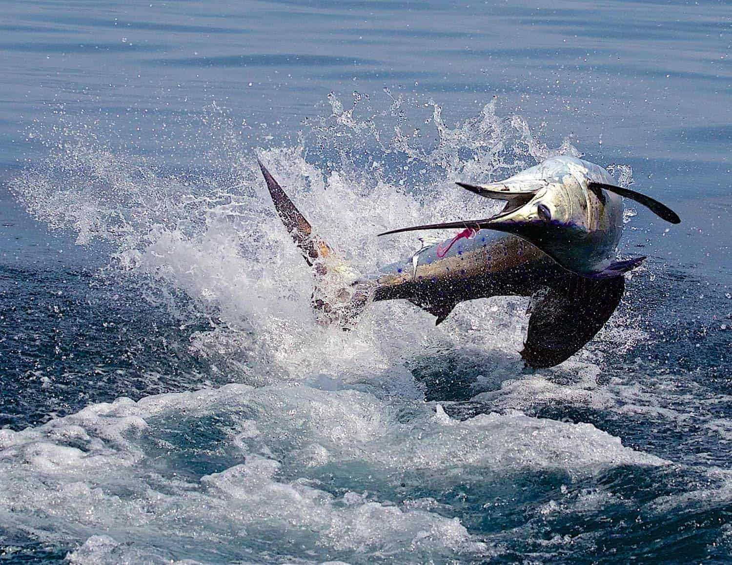 A sailfish off the coast of Costa Rica.