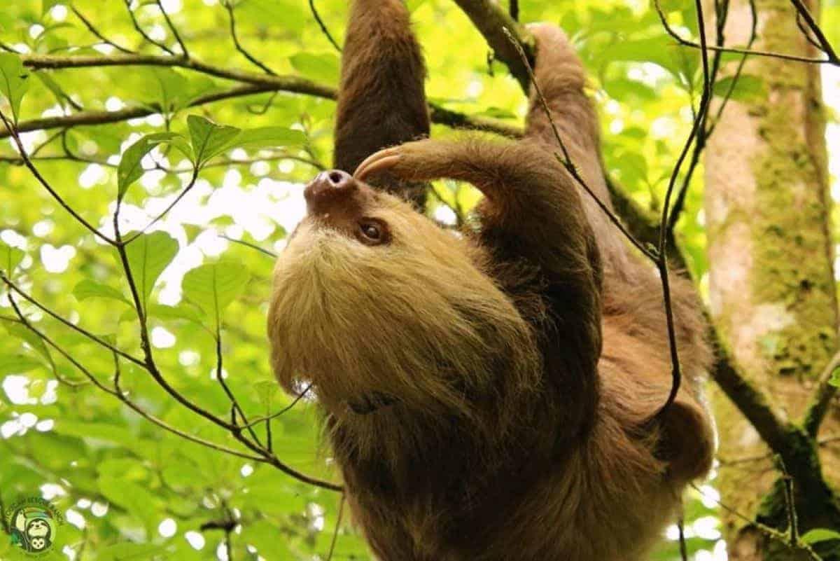 Oatmeal the sloth.