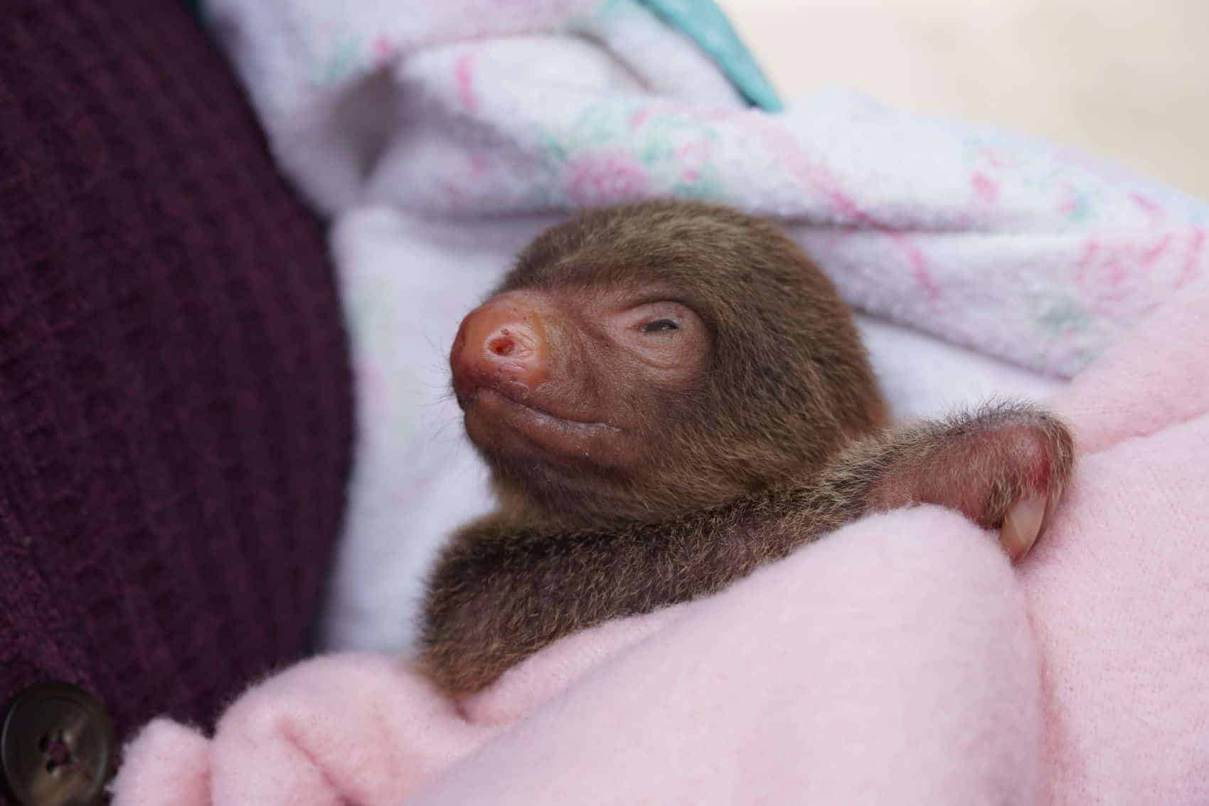 Shell the sloth at Toucan Rescue Ranch in Costa Rica.