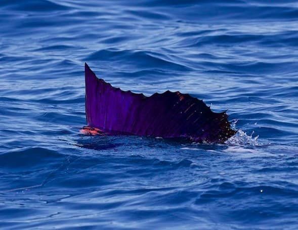 Costa Rican sport fishing group asks for ban on sale of sailfish